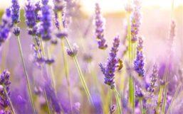 Lavender-flowers-bee-sun_m